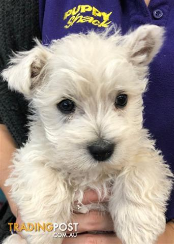 West-Highland-Terrier-Westie-Puppies-at-Puppy-Shack-Brisbane