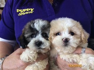 Bichon X Shih Tzu Puppies