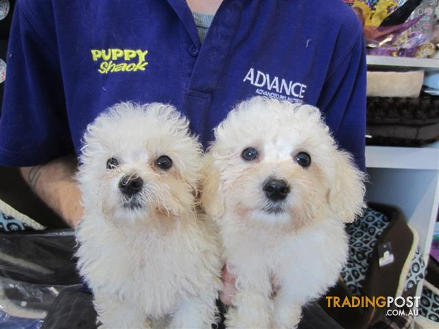 Maltese X Bichon Frise Maltichon Puppies At Puppy Shack Brisbane