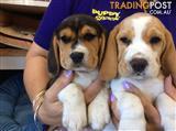 Beaglier Puppies at Puppy Shack Brisbane