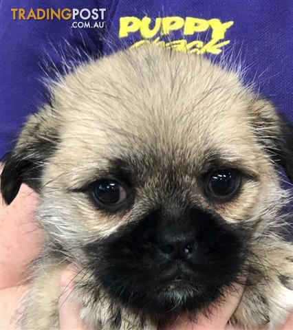 Shih tzu x pug for sale