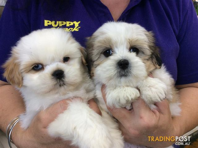 Lhasa-Apso-x-Shih-Tzu-Puppies-at-Puppy-Shack-Brisbane
