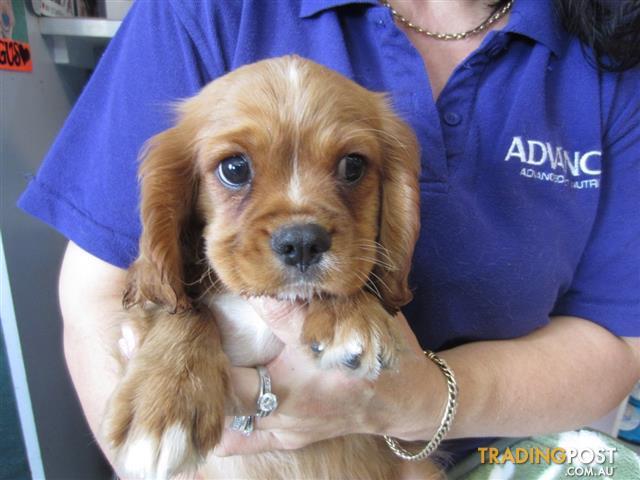 Cavalier King Charles Spaniel Dogs For Sale Brisbane