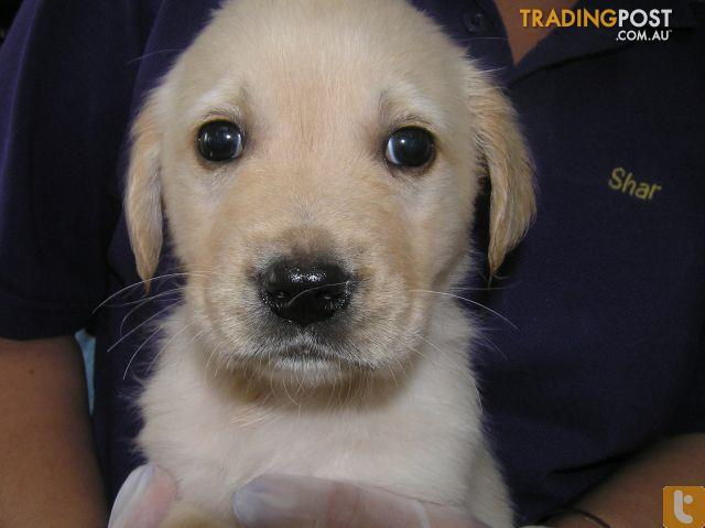 Labrador x golden retriever for sale