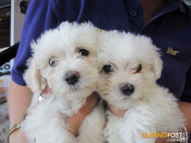 Maltese X Bichon Frise Maltichon Puppies At Puppy Shack – Fondos de