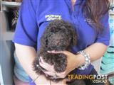 Mini Poodle Puppies at Puppy Shack Brisbane