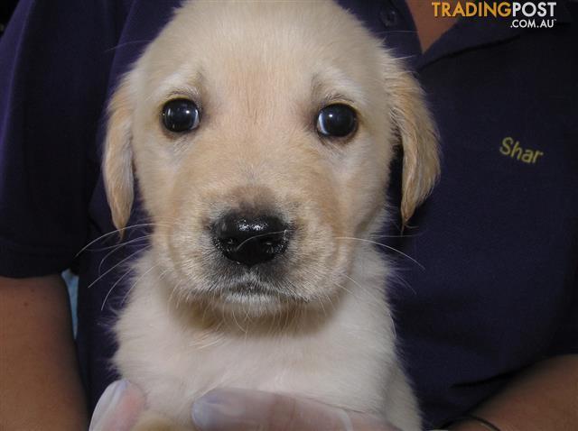 Golden Retriever X Labrador Gold Puppies Puppy Shack Brisbane