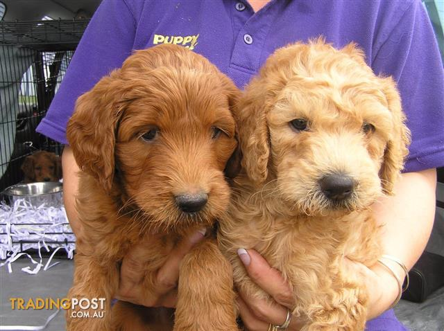 Labradoodle Red Puppies At Puppy Shack Brisbane