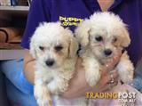 Toy Poodle Puppies at Puppy Shack Brisbane
