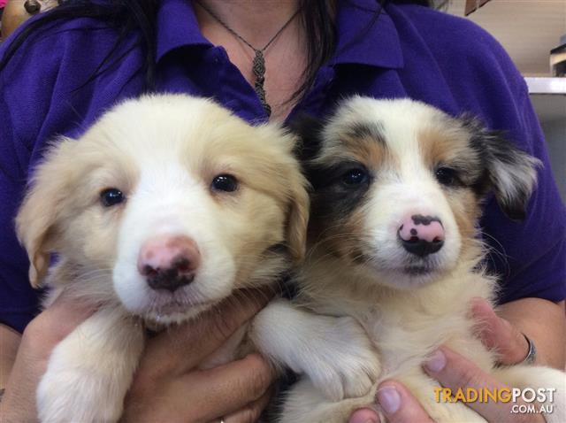 Border Collie Puppies At Puppy Shack Brisbane
