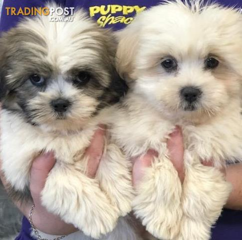 cost of shih tzu lhasa apso x shih tzu puppies at puppy shack brisbane for 8637