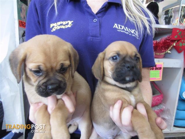 Pug X Beagle Puggle Puppies At Puppy Shack Brisbane