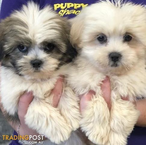 Lhasa Apso X Shih Tzu Puppies At Puppy Shack Brisbane