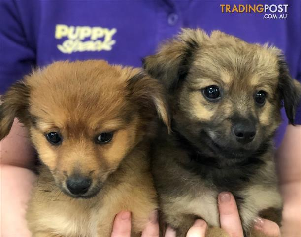 Pomeranian x Moodle Puppies at Puppy Shack Brisbane for ...