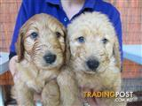 Groodle Puppies at Puppy Shack Brisbane