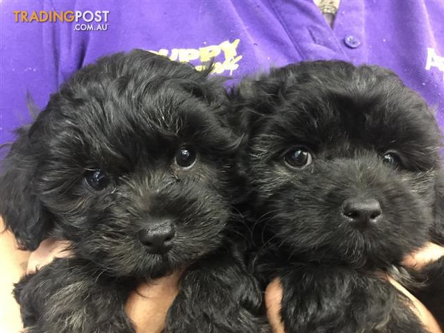 Maltese x Toy Poodle (Moodle) Puppies at Puppy Shack ...