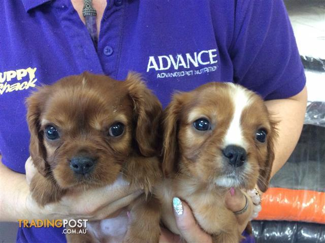 Cavalier King Charles Spaniel Dogs For Sale Brisbane