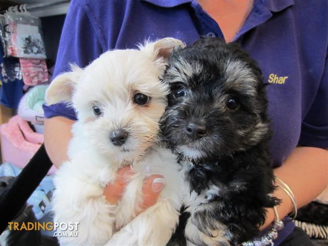 Maltese X Chihuahua Maltchi Puppies At Puppy Shack Brisbane