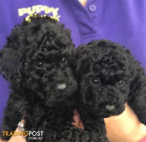 Toy poodle brisbane
