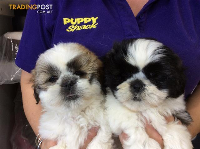 average price shih tzu puppy shih tzu puppies at puppy shack brisbane for sale in 312