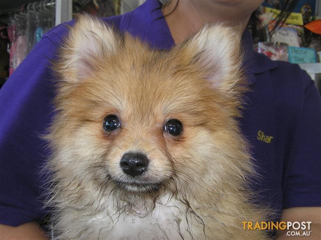 Pomeranian-Puppies-at-Puppy-Shack-Brisbane