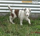 Stunning P/Bred Border Collie Puppy's
