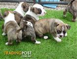 3/4 Boston Terrier Puppy's