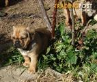 Beautiful Pugalier Puppy's