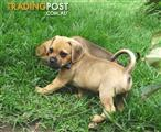 Gorgeous Puggle Puppy's
