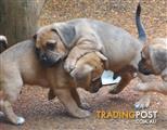 Gogeous Puggle Puppy's