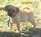 Adorable Puggle Puppy's