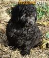 Gorgeous P/Bred Toy Poodle Puppy's