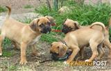 Adorable Pugalier Puppy's