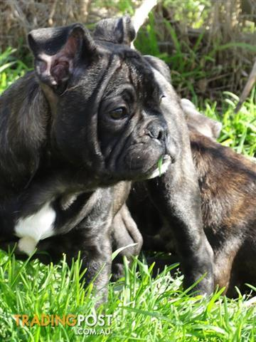 P/bred French Bulldog Puppy's