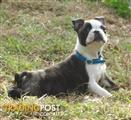 Stunning P/Bred Boston Terrier Puppy's