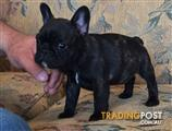 FRENCH BULLDOG PUREBRED MALE PUP NOW AVAILABLE