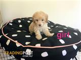 toy poodle puppies ready to new home now