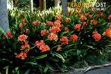 Orange Clivias Sale ✓Ready for planting