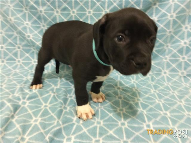 American Staffy cross Rottweiler puppies for sale!