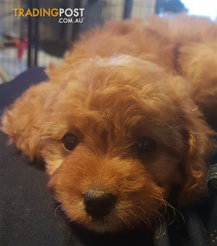 1st Generation Male Red Toy Cavoodle Puppies Dna Tested Parents