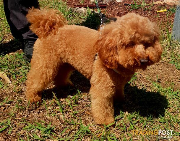 DNA-tested-Red-toy-poodle-for-STUD-SERVICE-ONLY