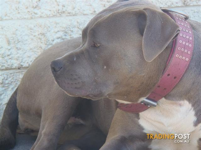 SOLMER KENNELS: Blue American Staffordshire Terriers