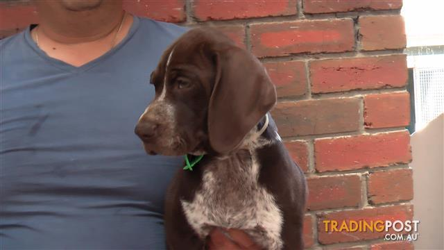 Pure bred German shorthaired pointer pups  short haired pointer pups