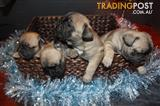 French Bulldog fur babies with papers