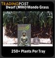 Dwarf / Mini Mondo Grass in Trays of 250+ Plants $75.00 Free Express Post.