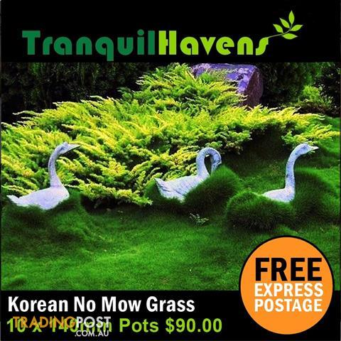 10 x 140mm Pots No Mow Petting Grass $99.00 Free Delivery (Normally $118.00) K