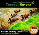 10 x 125mm Pots No Mow Petting Grass $85.00 Free Delivery