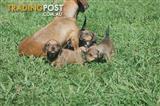 Mini Dachshund X Jack Russell puppies