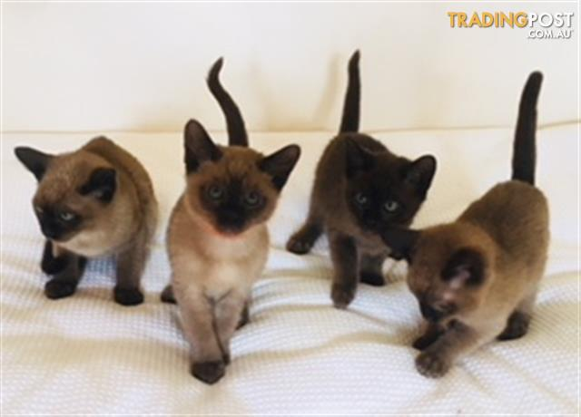 Stunning Pedigree Tonkinese Kittens For Sale