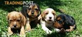 BEAGLIER (cavalier x beagle) PUPPIES